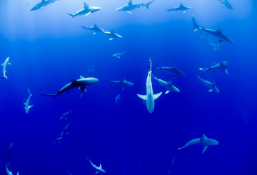 action-adrenaline-trip-shark-diving-africa-california-australia