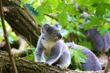 koala-baer-auge-in-auge-treffen-umarmen