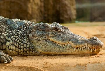 krokodil-alligator-auge-in-auge-treffen-beruehren