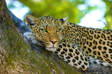 leopard-raubtier-auge-in-auge-treffen-beruehren