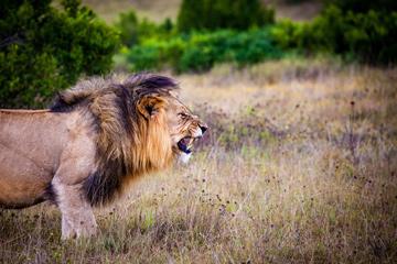 meet-lion-hug-encounter-predator-hunt
