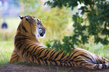 tiger-touch-feel-hug-predator-unique-experience